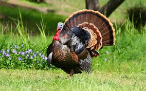 funny thanksgiving screensavers funny turkey 7017599
