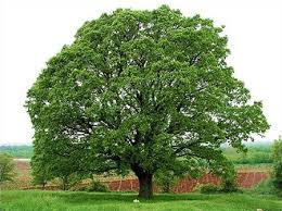 white oak tree for sale fast growing trees