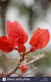 brazil native plants bougainvillea aka trinitaria is a genus of flowering plants