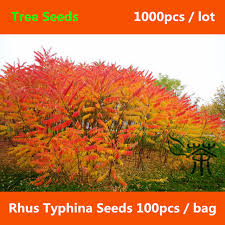 aliexpress buy ornamental plant rhus typhina seeds 1000pcs