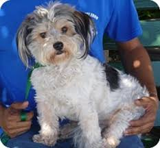 bichon frise dogs for adoption 31 best yorkie bichon images on pinterest yorkie bichon