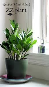 indoor plant ideas the zz plant houseplant lush and plants