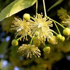 linden flower linden flower powder wildcrafted tilia europaea
