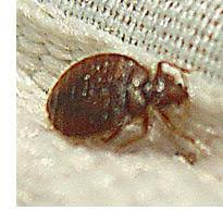Do Bed Bugs Jump From Person To Person Bed Bug Facts Where Do Bed Bugs Come From
