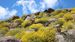 anza borrego wildflowers last chance to see wildflowers but beauty remains at anza borrego