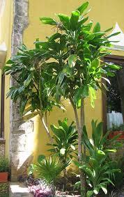 ti plant plant cordyline fruticosa