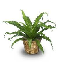 bird nest fern plant asplenium nidus all house plants flower