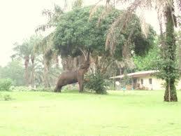 Mango Boom 3 olifant eten bij mango boom stefan renske in gabon