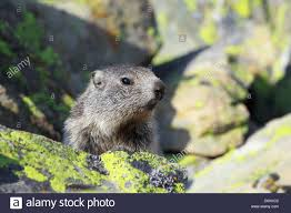 1 alp alps groundhog alpine fauna alpine groundhog alpine animal