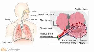 Nose Anatomy And Physiology Advanced Cardiopulmonary Anatomy And Physiology Res 1100 Lessons