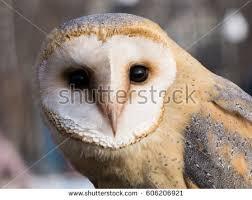 North American Barn Owl Barn Owl Stock Photo 980938 Shutterstock