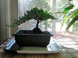 the bonsai guy from my wandering mind