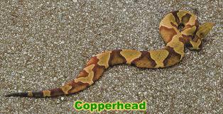 Found A Snake In My Backyard Copperhead Snake Information U0026 Facts