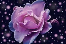 Lavender Roses Lavender Rose Maf04 Flickr