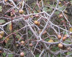 native plants of ontario hawthorn tree growing guide for edible hawthorn berries