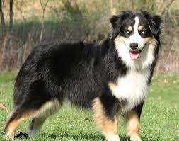 australian shepherd puppy cut faithwalk aussies grooming your aussie