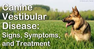 Causes Of Sudden Blindness In Dogs Vestibular Disease In Dogs Symptoms And Proper Treatment