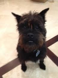 affenpinscher a donner 134 best adopted pets images on pinterest nevada california and