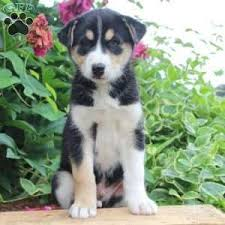 australian shepherd dalmatian mix siberian husky mix puppies for sale in de md ny nj philly dc and