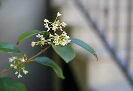 Fragrant Olive Plant How To Prune A Sweet Olive Into A Tree Nola Com
