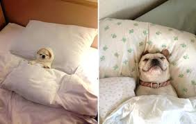 Dog In Bed Meme - dog in a bed restate co