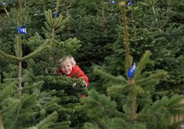 wyevale set for real christmas tree bonanza amateur gardening