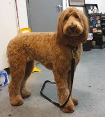 labradoodle hairstyles types of goldendoodle haircuts google search animals