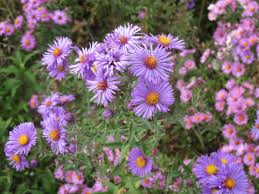 native new england plants ask a master gardener mums and so much more u2013 dodge county