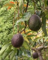 When Does A Lemon Tree Produce Fruit - avocado wikipedia