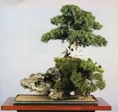 root on rock bonsai bonsai bark
