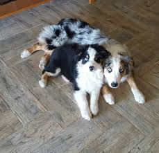 5 month old mini australian shepherd australian shepherds for sale by h and h power aussies