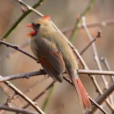 an old feisty female cardinal bit the same scientist eight years
