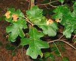 Image result for Quercus stellata