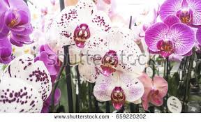 moth orchid stock images royalty free images u0026 vectors shutterstock