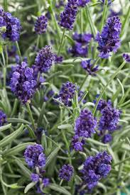 143 best herb lavender images on pinterest backyard gardening