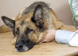 boxer dog keeps coughing dog flu canine influenza symptoms petmd