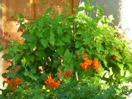 native arizona plants native honeysuckle u2013 tjs garden