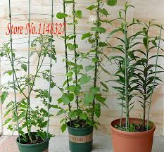 indoor vine plant morning glory vine rose climbing vine indoor plant support 60cm in
