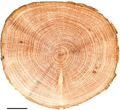transversal view of a sanded stem disc showing tree ring boundaries