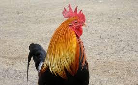 the mystery of kauai u0027s thousands of feral chickens modern farmer