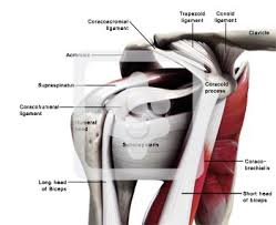 Anatomy Of Shoulder Muscles And Tendons Glenohumeral Capsule And Ligaments Normal Anatomy Shoulderdoc