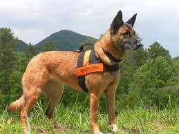 belgian shepherd ottawa best friends dog training sar camp