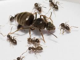 myrm u0027s ant nest species of ant