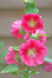 hollyhock flowers pink hollyhock flowers stock image image of garden petals 2696443
