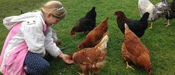Guide To Raising Backyard Chickens by Beginners Guide To Keeping Chickens