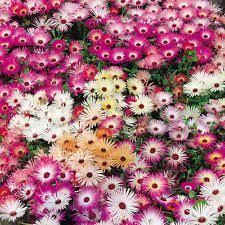 daisy seeds ebay