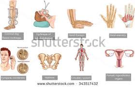 Anatomy Of Reproductive System Female Female Reproductive System Stock Images Royalty Free Images