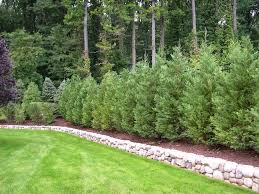 mesmerizing privacy trees for small backyards images design