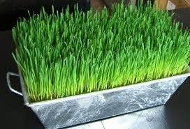cheap sprouting wheatgrass find sprouting wheatgrass deals on line