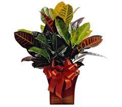 funeral plants croton plant flanner buchanan